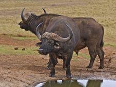 Free Buffalo Bulls C Rest Stock Image - 4450861