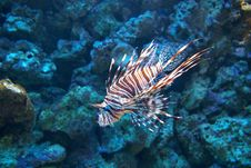 Free Lion Fish Stock Image - 4450941