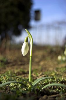 Free Snowdrop Royalty Free Stock Photography - 4451027