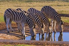Free Zebra Group Drinking Royalty Free Stock Photography - 4451447