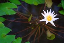 Free Purity Lotus Stock Photo - 4451920