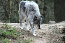 Free Wolf Stock Photos - 4452373
