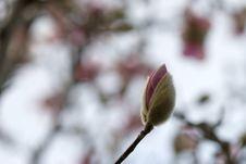 Magnolia Bloom Stock Photography