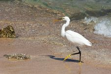 Walking Egret Royalty Free Stock Photo