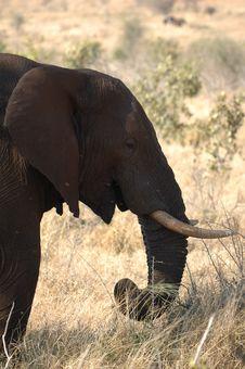 Free Elephant (Loxodonta Africana) Stock Image - 4453601