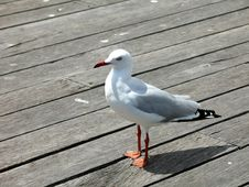 Free Seabird Stock Images - 4453844