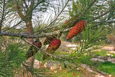 Free Pine Branch Royalty Free Stock Image - 4454056