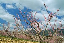 Free Peaches Orchard Blooming Stock Photography - 4454842