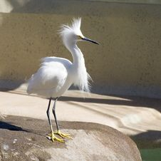 Free Snowy Egret - Nice Plumes Stock Image - 4455051