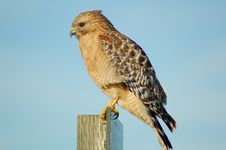 Free A Foraging Red-shouldered Hawk Stock Photography - 4455452
