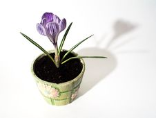 Free Blooming Crocus Flowerpot Royalty Free Stock Image - 4455466