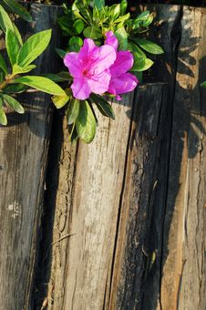 Free Azalea And Wooden Fence Royalty Free Stock Photo - 4455525