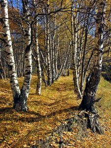 Free Birch Alley In The Autumn Royalty Free Stock Image - 4456376