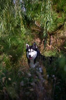 Free Husky Dog Royalty Free Stock Images - 4457309