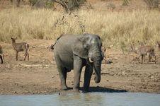 Free Elephant (Loxodonta Africana) Stock Image - 4457561