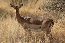 Free Impala (Aepyceros Melampus) Stock Image - 4457571