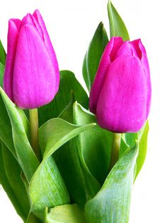 Free Violet Tulips Royalty Free Stock Photos - 4459988