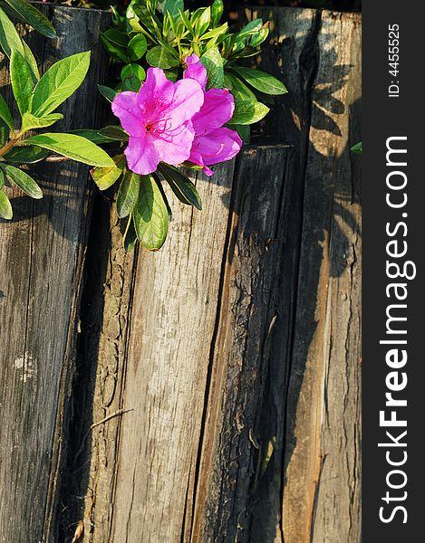Azalea and wooden fence