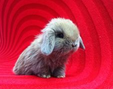 Free Holland Lop Rabbit On Red Carpet Royalty Free Stock Photos - 44527978