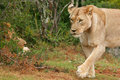 Free Approaching Lioness Stock Image - 4460961