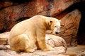 Free Polar Bear Royalty Free Stock Photography - 4464227