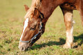 Free Grazing Horse Royalty Free Stock Photography - 4467827