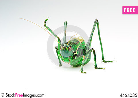Free Katydid S Action Royalty Free Stock Photo - 4464035