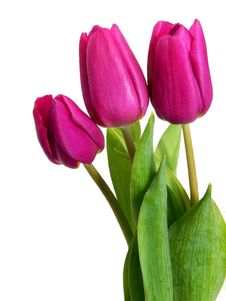 Free Violet Tulips Stock Image - 4460031