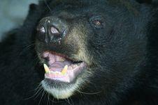 Free Black Bear Royalty Free Stock Photo - 4460035