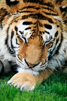 Free Sleeping Siberian Tiger Stock Photos - 4461063