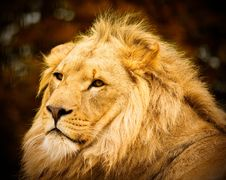 Free African Lion Stock Image - 4461161