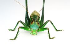 Free Obverse Katydid Stock Photo - 4464030
