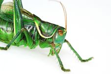 Free Close-up Katydid Stock Photography - 4464032