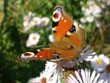 Free European Peacock Butterfly Stock Photo - 4465100