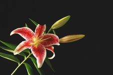 Red Lily Royalty Free Stock Photos