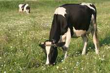 Free Two Cows Royalty Free Stock Photos - 4467758