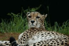 Free Cheetah Royalty Free Stock Photography - 4467817
