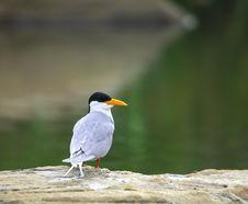 River Tern Stock Image