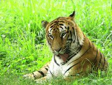 Free Tiger Royalty Free Stock Photo - 4467885