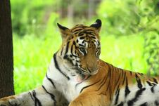 Free Tiger Stock Images - 4467904