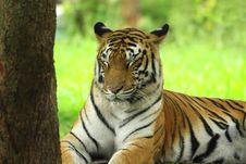 Free Tiger Royalty Free Stock Photography - 4467907
