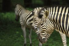 Free Zebra Herd Stock Images - 4467924