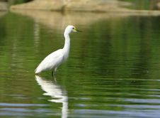 Free Egret Stock Images - 4467934