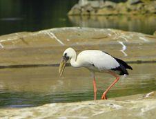 Open Bill Stork Stock Image