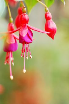 Hanging Bell Begonia Royalty Free Stock Photos