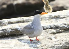Free River Tern And Baby Royalty Free Stock Photography - 4467967