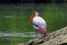 Free Painted Stork Stock Photography - 4468002