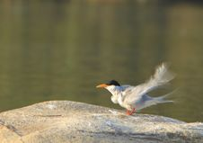 Free River Tern Royalty Free Stock Image - 4468036