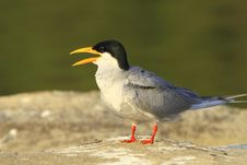 Free River Tern Royalty Free Stock Image - 4468056
