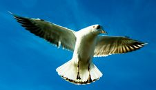 Free Seagull Royalty Free Stock Photography - 4468207